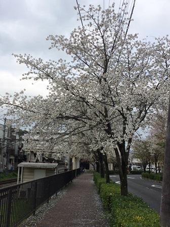 20150411hanami_1.JPG